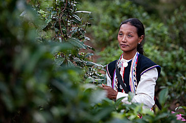 Dai ethnic minority woman in tea plantation, Xishuangbanna