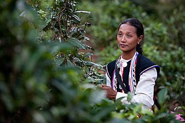 Dai ethnic minority woman in tea plantation, Xishuangbanna
