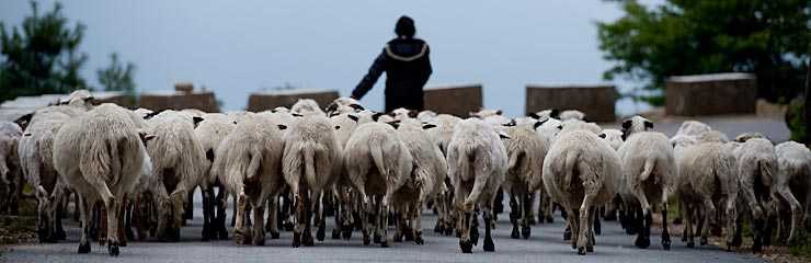 Goat herder